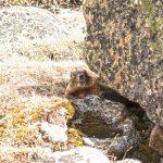 Marmot in Montana