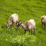 Yellowstone sheep