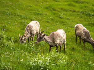 Yellowstone sheep