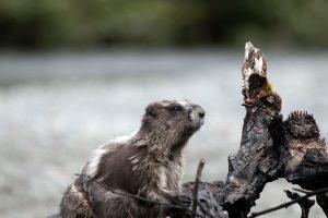 Marmot in Telkwa Pass