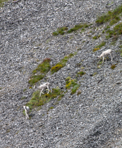 sheep along dempster highway
