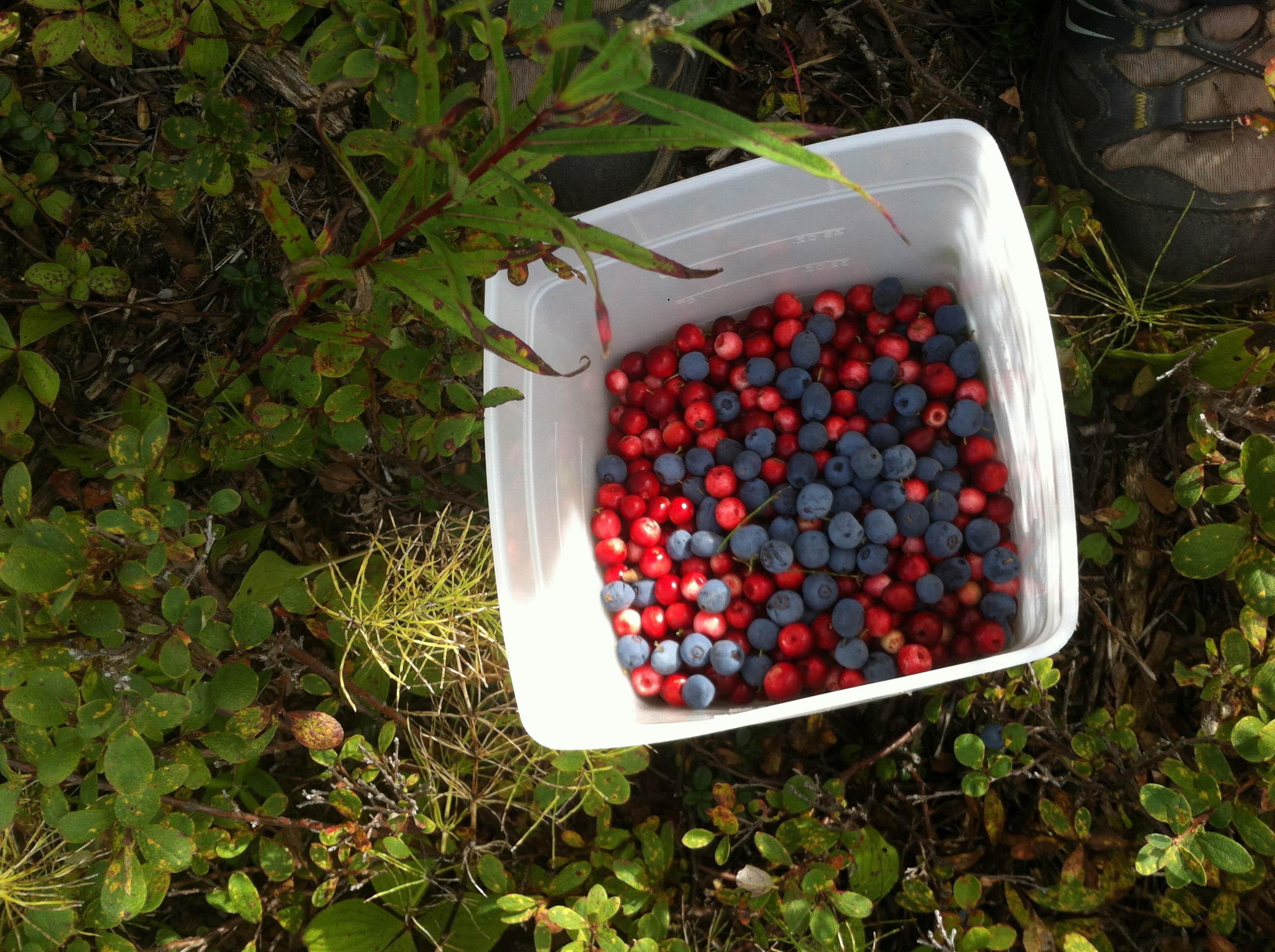 berry picking in the yukon