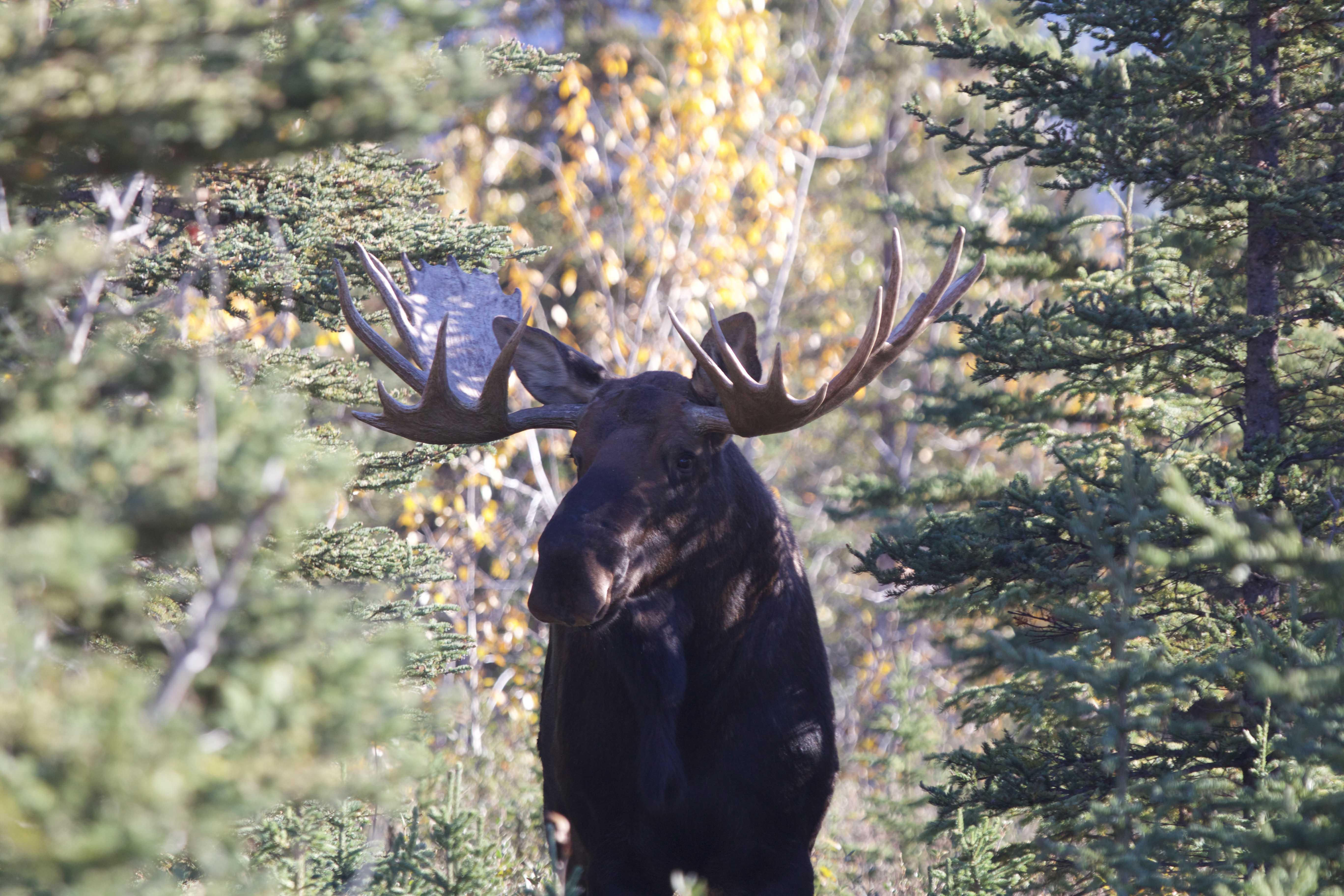 bull moose mccarthy alaska