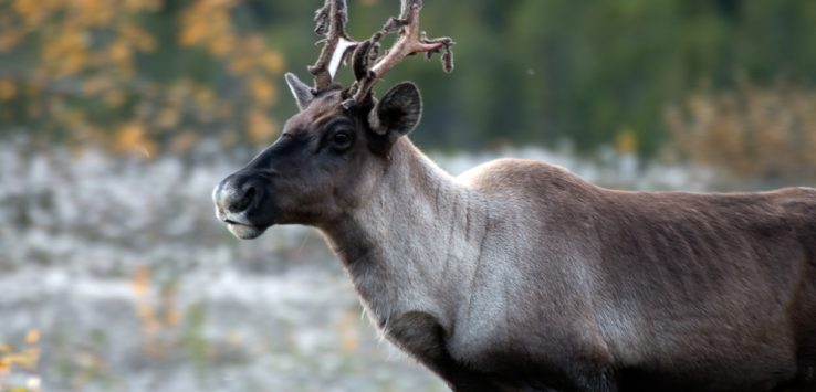 caribou along the alaska highway